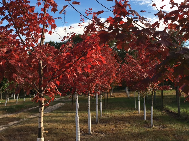 Protect Your New Trees From Sun Scald
